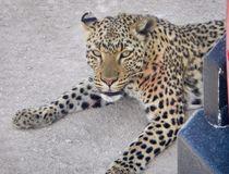 Dieser junge Leopard machte eine Pause hinter unserem Wagen. Er hat mehrfach vergeblich versucht einen Strauß zu bewegen. Mal zog er am Hals dann wieder an den Beinen. Das war schon sehr amüsant zu beobachten.   Gabriele v. Stösser  © Gabriele v. Stösser